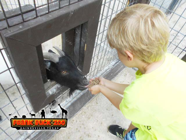 Child Playing with a Goat