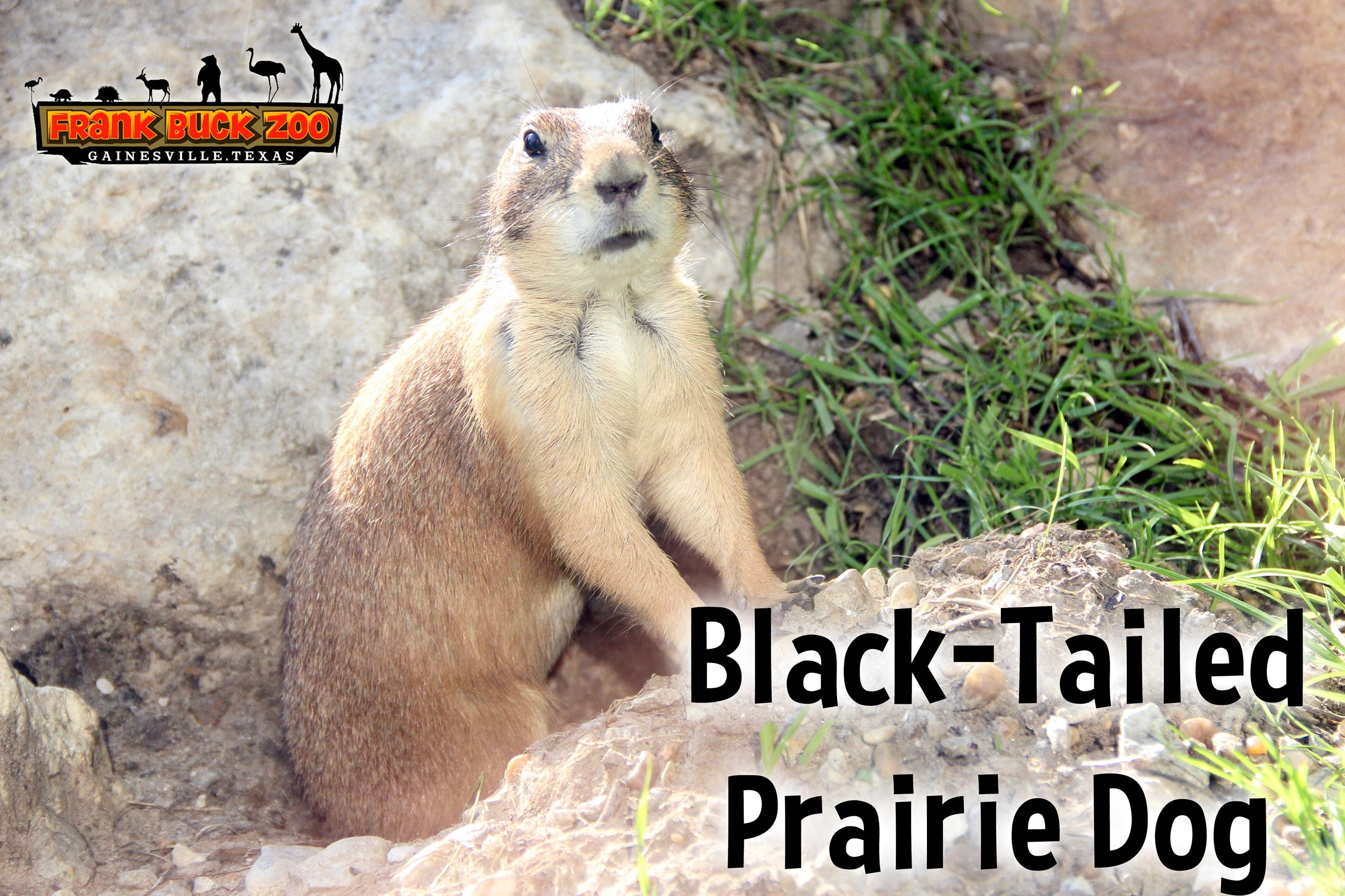 Black Tailed Praire Dog