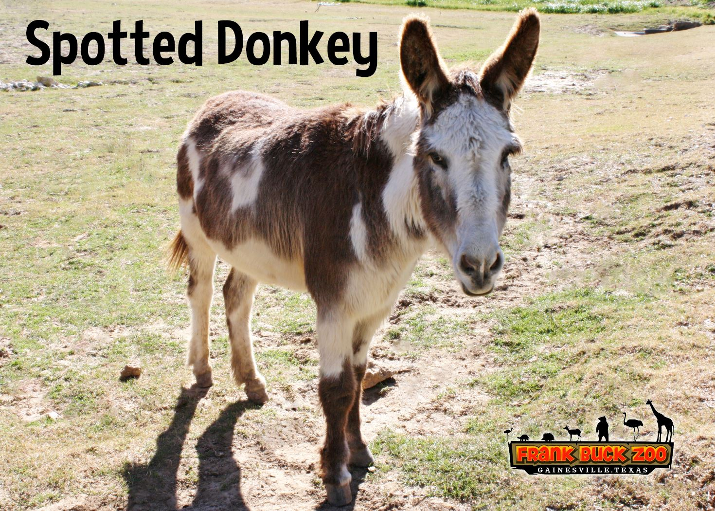 Spotted Donkey